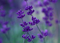 hermosas flores lilas - Buscar con Google