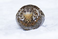 Ruffed Grouse - Bonasa umbellus - Gélinotte huppée | Flickr - Photo Sharing!