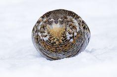 Ruffed Grouse - Bonasa umbellus - Gélinotte huppée | Flickr - Photo Sharing!