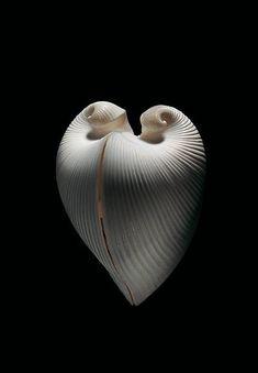 Meiocardia moltkiana, sea shell