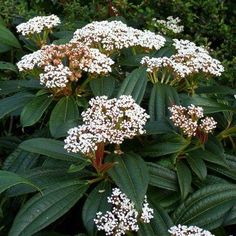 If you are looking for a plant with white flowers, one of the 12 viburnum shrubs—such as Burkwood and Koreanspice—will look beautiful in your garden. White Flowering Plants, Flowering Shrubs, Large Plants, Evergreen Shrubs, Trees And Shrubs, Trees To Plant, Hydrangea Macrophylla, Garden Shrubs, Shade Garden