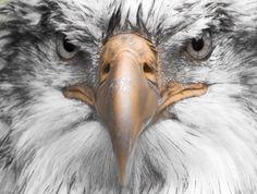 Foto: Schwarz-Weiß-Fotos, in denen bestimmte Details farbig hervorstechen. Weißkopfseeadler www.netzauge.de