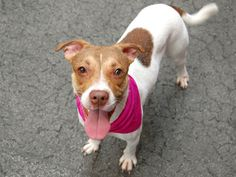 SAFE --- Manhattan Center    LAVA - A0997118   *** SAFER: EXPERIENCED HOME NO CHILDREN ***   FEMALE, WHITE / TAN, BEAGLE, 3 yrs  STRAY - STRAY WAIT, NO HOLD  Reason STRAY   Intake condition NONE Intake Date 04/19/2014, From NY 11693, DueOut Date 04/22/2014,   https://www.facebook.com/photo.php?fbid=792360420776839&set=a.617938651552351.1073741868.152876678058553&type=3&permPage=1