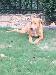 Adopt Magee On Labrador Retriever Labrador Retriever Mix Retriever