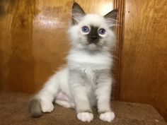 Welcome to Genotype Cats - Ragdoll Cats Ragdoll Cats, Kittens, Cleaning Litter Box, Day Bag, Pet Store, Cat Breeds, Inventions, Cat Lovers, Things To Come