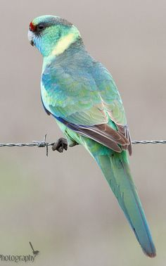 The Australian Ringneck / Barbardius zonarius - a parrot native to Australia. Except for extreme tropical and highland areas the species has adapted to all conditions.