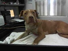 07/28/15-GABY - ID#A1711176 I am an unaltered female, brown and white Pit Bull Terrier mix. The shelter staff think I am about 2 years old I have been at the shelter since Jul 12, 2015. This information is 1 hour old. Although I am still in my stray holding period, I may be available for the Foster to Adopt Program. Cick here to learn more. Help Miami-Dade Animal Services find a new loving home for me and more animals like me. Donate Now!