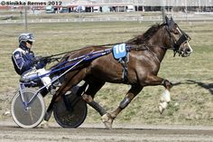 #Finnhorse stallion Vieskerin Virta. Most of Finnhorses are used for harness racing and for a good reason: Finnhorse is the fastest breed of cold-blood trotters.