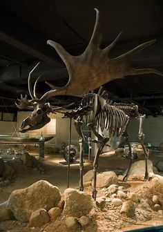 A giant deer from the Ice Age comes from a bog in Ireland, ca. 10,000 B.C., AMH.