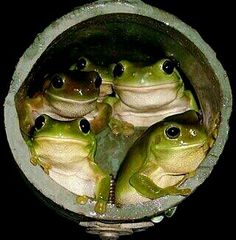 Toads in a hole......