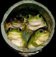 Toads in a hole......