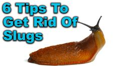 Slugs in Garden 6 Proven Slug Control Methods That Work Marigolds In Garden, Growing Marigolds, Slugs In Garden, Garden Bugs, Garden Care, Growing Herbs, Organic Gardening, Gardening Tips, Slug Control