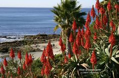 Aloe arborescens sends up torchlike flowers in midwinter. Succulents such as aloes, echeverias and agaves make easy-care, fire-resistant, lo.