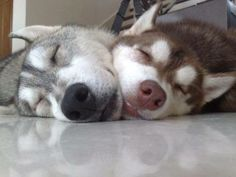 Chin to chin. Siberian Husky Sleepy-byes. :D