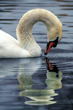 Beautiful reflection of Swan Swan Love, Beautiful Swan, Beautiful Birds, Animals Beautiful, Cute Animals, Swans, Cygnus Olor, Mundo Animal, All Gods Creatures