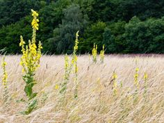 Dziewanna – właściwości lecznicze, działanie i zastosowanie dziewanny | ekologia.pl Plants, Plant, Planets