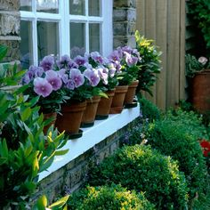 https://flic.kr/p/dXJ6CJ | Viola and box | A row of pots of viola add distinction to a window sill, box balls beneath.  © Nicola Stocken Tomkins. Countryside 2013.