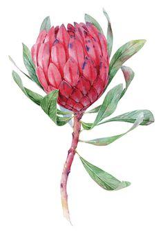 Botanica on Behance Flor Protea, Protea Art, Protea Flower, Watercolor Plants, Watercolor Wallpaper, Floral Watercolor, Watercolor Paintings, Watercolour, Plant Illustration