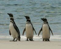 Magellanic Penguin, facing extinction due to over fishing and climate change. Twelve out of 17 Penguin species are currently experiencing rapid population decline. Types Of Penguins, Cute Penguins, Non Flying Birds, Penguin Awareness Day, Penguin Day, Penguin Species, Animal Action, Network For Good, How To Attract Birds