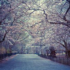 Spring Cherry Blossoms - Central Park - New York City