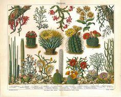 Litografica antichi cactus cactacee cactus di CarambasVintage