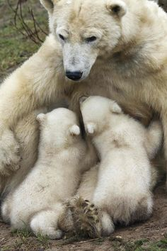 Polar bear Huggies feeds her twin cubs feed their first public appearance at the Ouwehands Zoo in Rhenen February 29, 2012. Ouwehands Zoo is one of the two zoos participating in a special breeding program for endangered polar bears. REUTERS/Michael Kooren