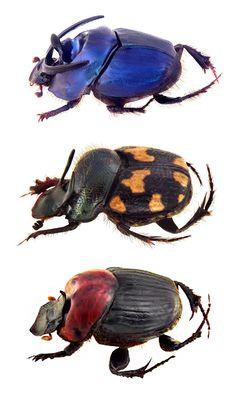 Onthophagus schwaneri; Onthophagus kchatriya: Onthophagus rubricollis;