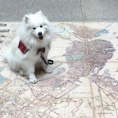 Check out this old map of my city! I'm pointing to my house but you can't see it on this map because there's water where my street is now - Back Bay used to be an actually bay! #TheMoreYouKnow #samoyed #boston #backbay #maps #library