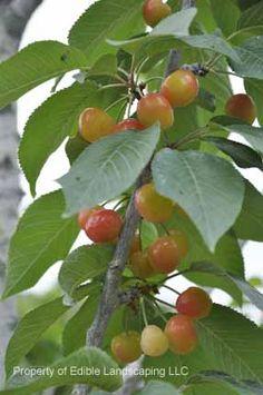 Cherry White Gold
