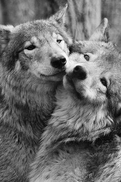 Pair (part of a pack) of wolves...