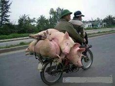 Varkens Transport