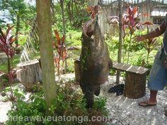Grouper fish, 'Eua