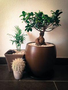 Interior garden. Cactus and ginseng tree (ficus bonsai) Little_Garden