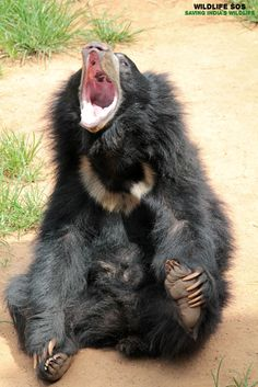 Here's something to brighten up your day! Sloth Bear, Bear Cubs, Bears, Black Bear, Wildlife, Nature, Cubs, Naturaleza, American Black Bear