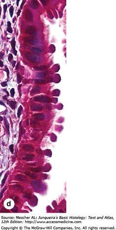 Stratified Squamous Epithelium, Best Diwali Wishes, Ovarian Follicle, Histology Slides, Embryonic Development, Medical Mnemonics, Mammary Gland, Med Student, Nursing