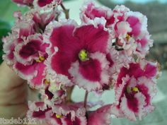 African Violet Valentine   eBay Valentine (Unknown) Semi-double red-fuchsia pansy with a wide white to pale pink frilled edge. Plain, round, quilted. Standard Seller purchased this variety a few years ago labeled as Valentine. She believes it's true identity to be Optimara Nebraska. It is a remarkable beauty.