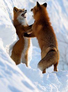 red foxes / Ha, Ha, Ha, Ha, Ha!  I Would love to have this dance!  (: