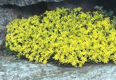 Keltamaksaruoho - Sedum acre Acre, Garden, Plants, Mornings, Garten, Flora, Plant, Lawn And Garden, Outdoor