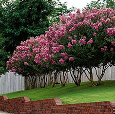 Crepe myrtle-want this layout in the new house....along the back fence.