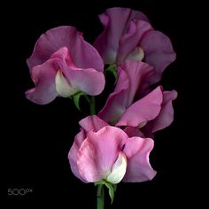FRIANDISES… Sweet peas - Sweet pea (Lathyrus odoratus) is a flowering plant in the genus Lathyrus in the family Fabaceae (legumes), native to Sicily, southern Italy and the Aegean Islands.[1]  It is an annual climbing plant, growing to a height of 1–2 metres (3 ft 3 in–6 ft 7 in), where suitable support is available.  The leaves are pinnate with two leaflets and a terminal tendril, which twines around supporting plants and structures, helping the sweet pea to climb.  In the wild plant the…