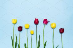 Colourful tulips on blue background by Julia Potato on @creativemarket