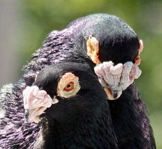 Racing Pigeon Lofts, Le Pigeon, Pigeon Breeds, Homing Pigeons, Bird Watching, Bird Art, Beautiful Birds, Pet Birds, Animals And Pets
