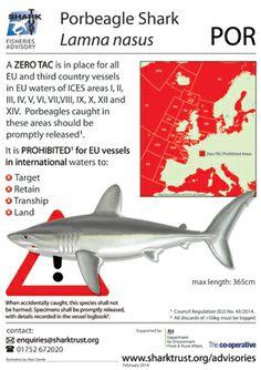 Porbeagle Shark Fisheries Advisory. #shark #SharkTrust