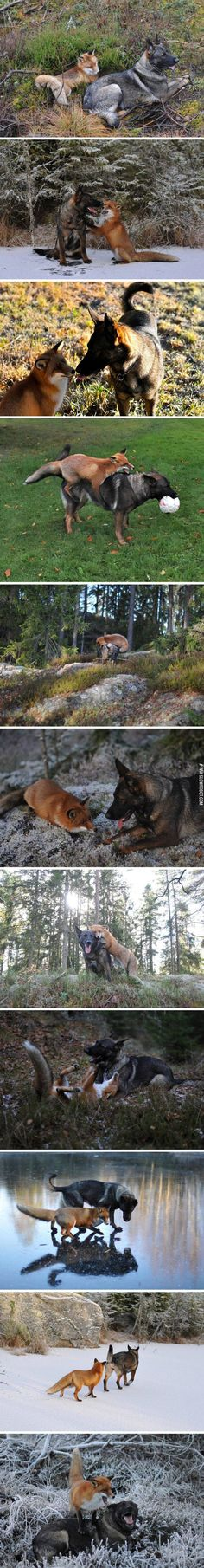 "Tinni the dog has developed an amazing friendship with this wild fox called Snusen (aka Sniffer). Tinni's owner, Torgeir Berge of Norway, has taken many photos and video of the pair playing together. Berge has collaborated with author, Berit Helberg, to publish the book ""Snusen og Tinni"" about these beautiful friends. It has also been published in English as ""Sniffer and Tinni"". http://www.dogheirs.com/misst/posts/4622-amazing-photos-of-dog-and-wild-fox-playing-in-the-woods"