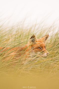 Red Fox by Marco Immervoll on 500px