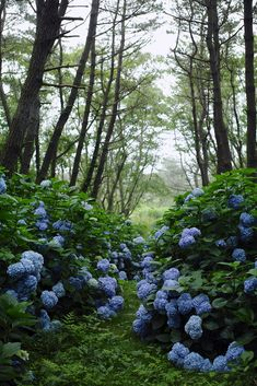 SPRING ~ HYDRANGEA IN BLOOM