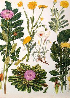 Vintage Botanical Prints Flowers | Flickr - Photo Sharing!
