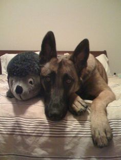 My Belgian Malinois - my other baby