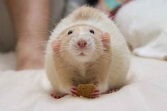 """Changing the way you feel about pet rats......... Meet Martin """"Marty"""" Mouse, the lovable dumbo rat."""