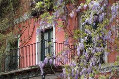 Glicinas y balcón al comienzo de la primavera - Fotos en el día del Patrimonio (2004) - Departamento y ciudad de Montevideo - URUGUAY. Imagen #14942